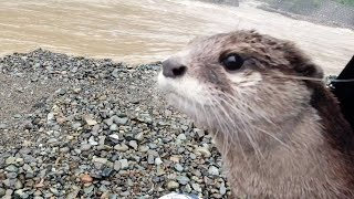 Aty site disappeared by heavy rains, but still a happy otter [Otter life Day 311]【カワウソアティとにゃん先輩】
