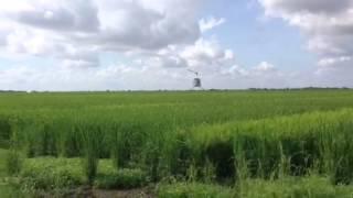 Pollinating rice