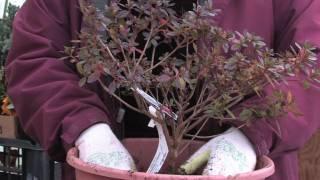 Gardening Tips : How to Plant Azaleas