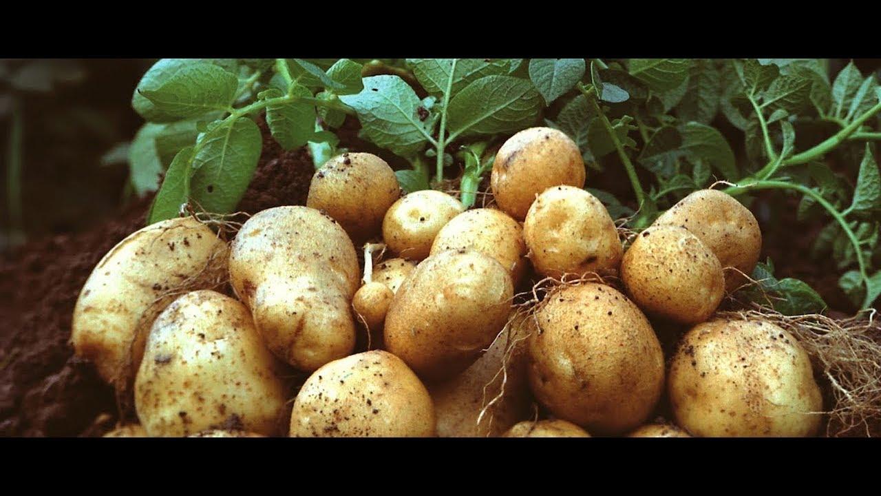 Богатый урожай картофеля в некопаной земле! Часть № 2
