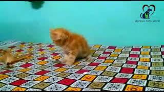 Golden baby girl Persian kitten cat available in PUNE CALL 9860029057