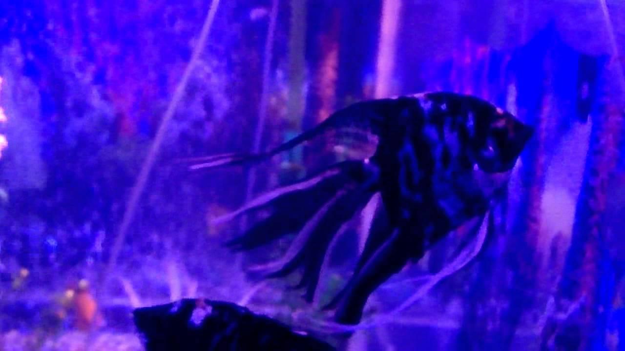 Peces ornamentales en acuario doovi for Acuarios ornamentales