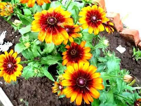 Красивые цветы (дача) фото