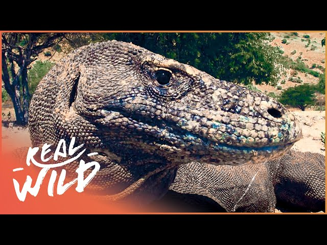 The Mysterious Komodo Dragon And The Dangers They're Facing | 1000 Days For The Planet | Real Wild