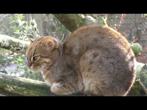 Rusty Spotted Cat, Axe Valley Wildlife Park (12th March 2017)
