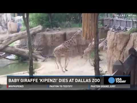 Thumbnail: Baby giraffe dies at Dallas Zoo after breaking neck