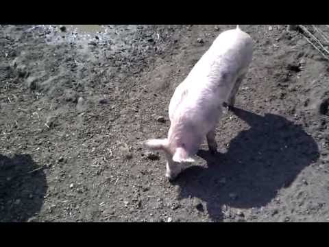Large White Pigs