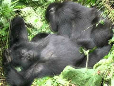 Magic Tree House Good Morning Gorillas Youtube