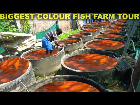 Colour FISH Farm TOUR In Asia - Part 2   Factory Explorer