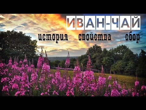 Иван-чай, полезные свойства и противопоказания, лечебные