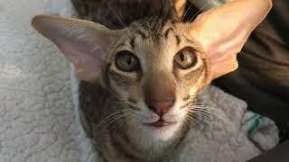 Meet our new Oriental Shorthair Kitten