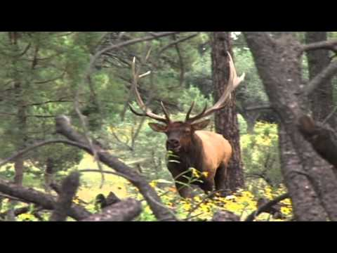 AES - Arizona Elk are calling you...