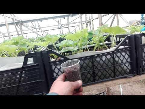 Выращивание клубники в ленобласти, в теплице,пробный вариант....