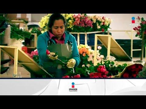 Producción de rosas garantiza abasto en día de San Valentín | Noticias con Francisco Zea