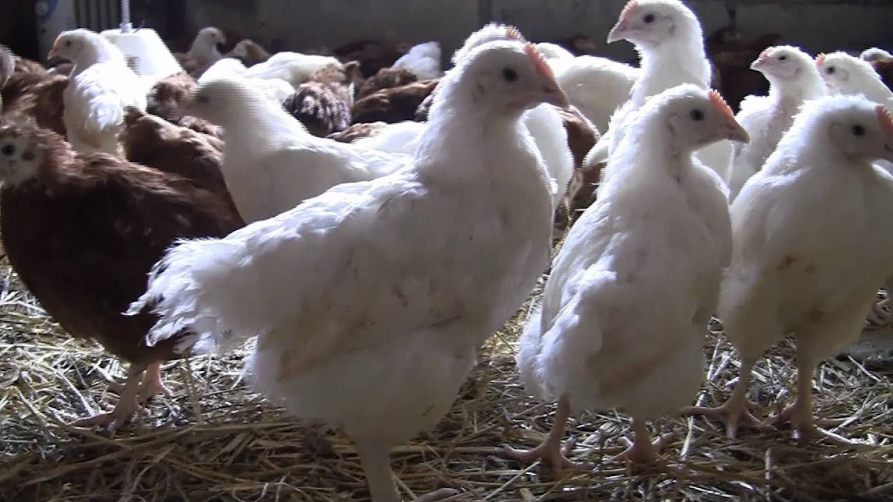 Выращивание птицы кросса хайсекс уайт