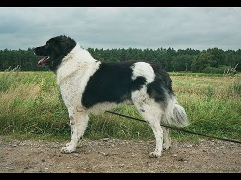 Bulgarian Shepherd (Karakachan) / Dog Breed