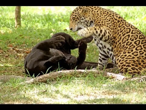 Jaguar   A Beast That Kills Its Prey With A Single Bound   YouTube