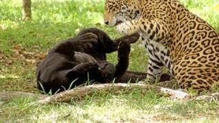 Jaguar - a beast that kills its prey with a single bound