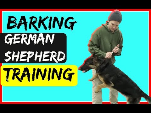 How to Train a Barking Anxious German Shepherd Dog with a Prong Collar
