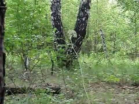Resultado de imagen de caida masiva  de arboles  en rusia