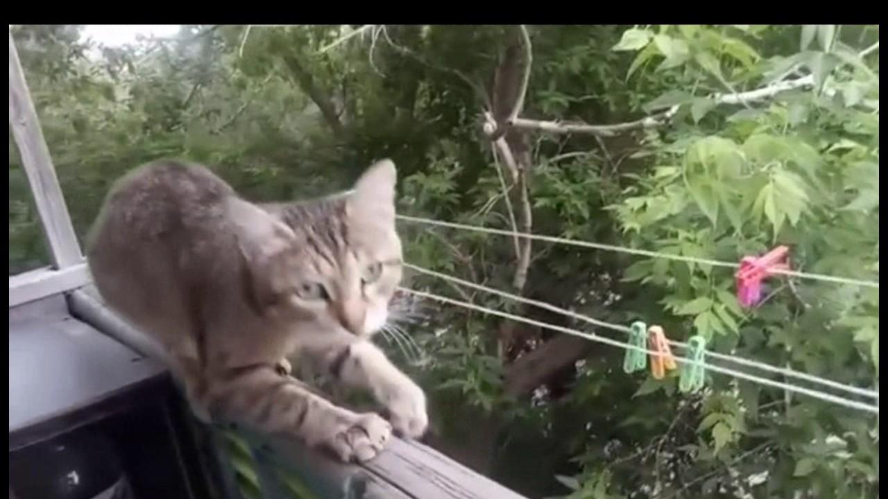 Кот семен с тигром