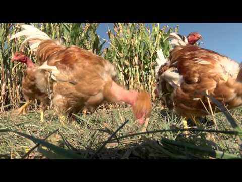 Safer Gascogne Haut-Languedoc, Hautes-Pyrénées : La « poule » position