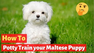 How to Potty Train your Maltese puppy? Super Effective Training Tips