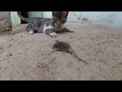 CAT HUNTING A MOUSE  قط يصطاد فأرا