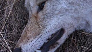 Охота на волка сезон 2017