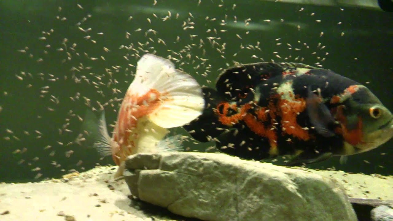 Astronotus ocellatus fry youtube for Where to buy pet fish
