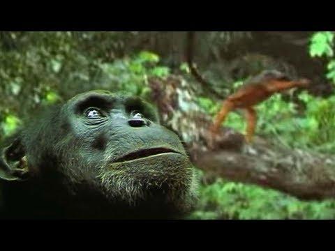 The Chimpanzee's Monkey Ambush   Predators   BBC Earth