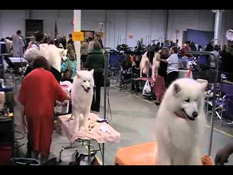 American Eskimo Dog Show