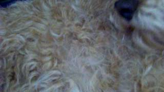 Lakeland Terrier Grooming, Part 3 (why Handstripping Is Important)