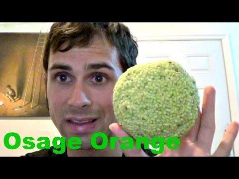How to eat an Osage Orange - Weird Fruit Explorer Ep. 119
