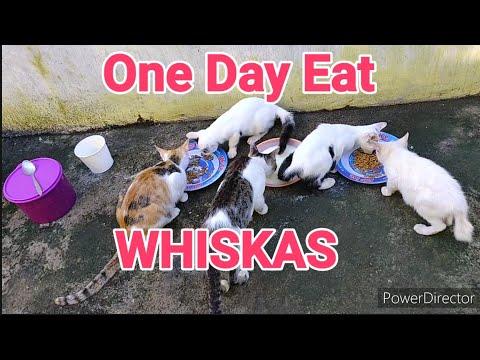 hari-pertama-kucing-kampung-makan-whiskas-ternyata-berebut.