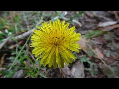 Wild Edible Plants in your Backyard! (HD)