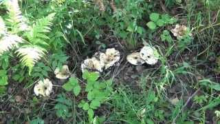 Лисичка гриб - который растет большими колониями
