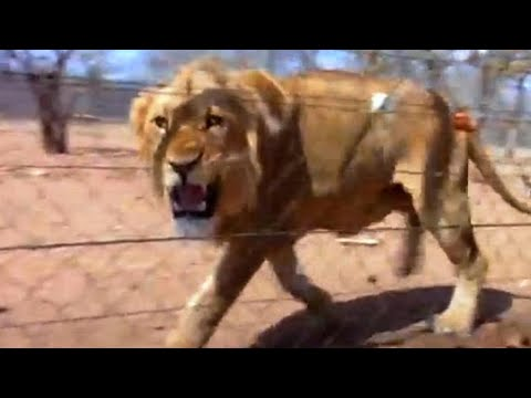 What's The Value Of A Lion? - Louis Theroux's African Hunting Holiday - BBC