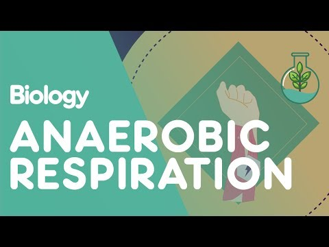 Anaerobic Respiration in the Muscles | Biology for All | FuseSchool