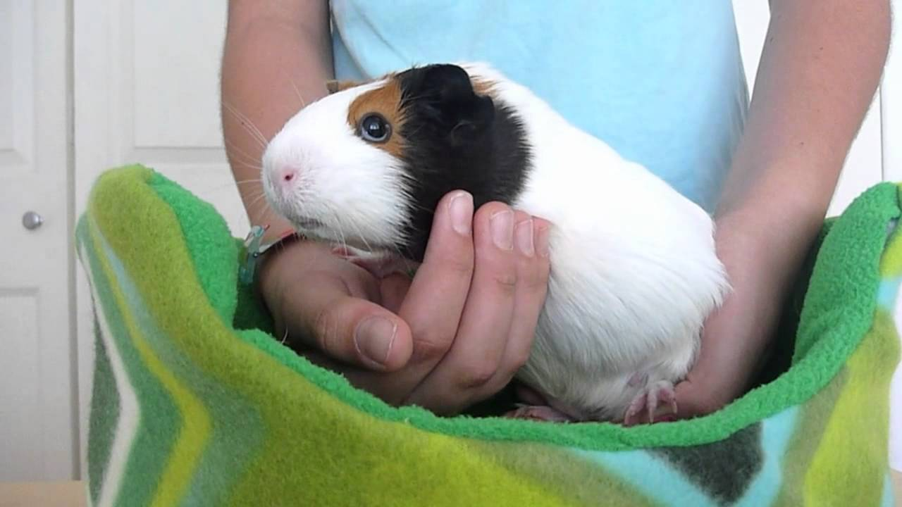 Image result for how to carry a  guinea pig