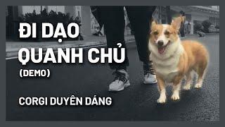 Dạy cún đi dạo nġhe lời chủ - Coŗgi duyên dáng | Huấn luyện chó cơ bản BossDog