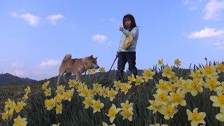 柴犬タロウと家族の日記。 ようやく春らしくなりました。桜の開花も近い。 Shiba Inu and Spring Walkway.