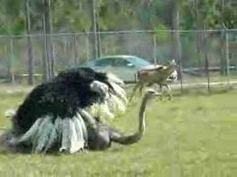 Секс страусов видио