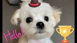 Which dog breed is the cutest? Puppy enjoys watching himself  Maltese dog