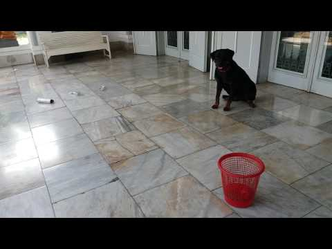 Belajar BUANG SAMPAH sesuai perintah, Dog Lovers Semarang, Pelatihan anjing semarang(Rottweiler)