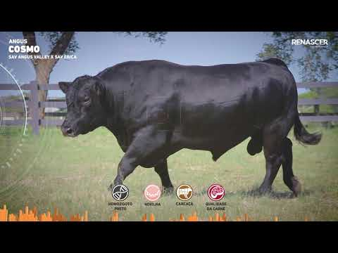 Touro Cosmo - Aberdeen Angus - Sêmen Bovino - RENASCER BIOTECNOLOGIA VIDEO