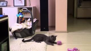 Кот в засаде (русская голубая кошка в игре) (russian blue cat in game)