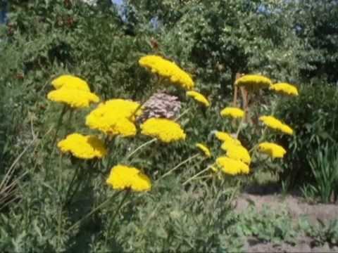 Лечебные свойства травы тысячелистника » Ваш доктор Айболит
