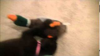Chocolate Lab Reviewing Hartz Dog Toys.wmv