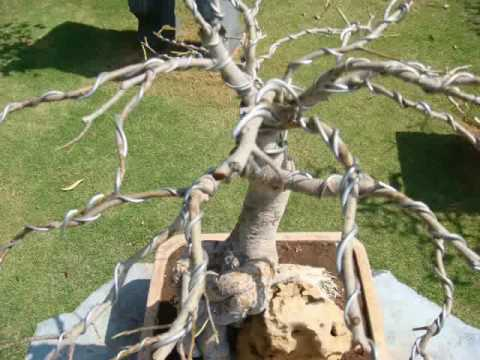 bonsai wiring youtube rh youtube com Bonsai Silhouette Bonsai Silhouette